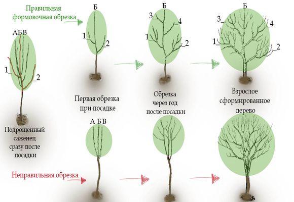 правильное удаление ветвей