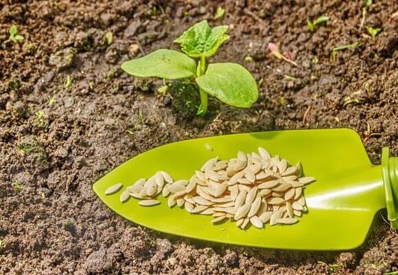 семена на лопатке