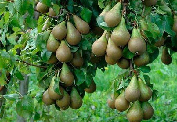 большой урожай фруктов