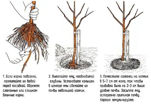 схема высадки дерева