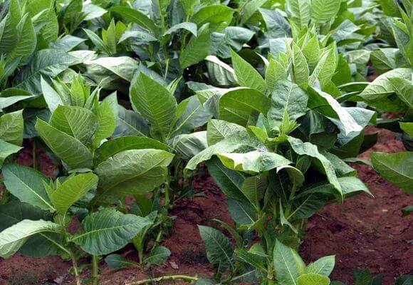 зеленые листья табака
