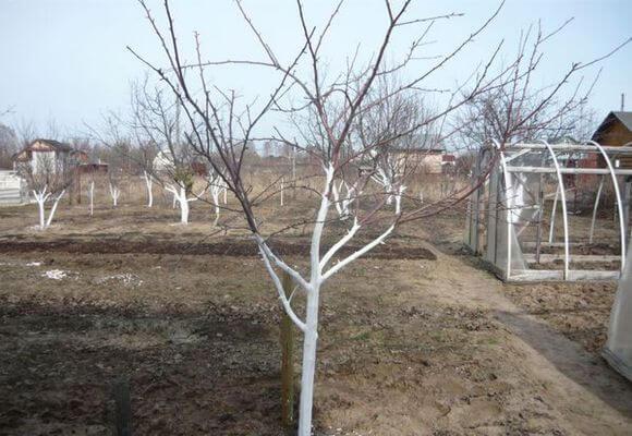способ побелки яблони весной