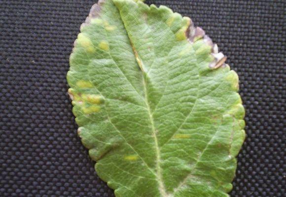 Хлоротическая кольцевая пятнистость у яблони