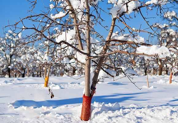 Яблоня в снегу