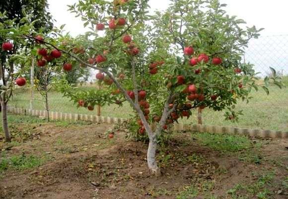 небольшая яблоня