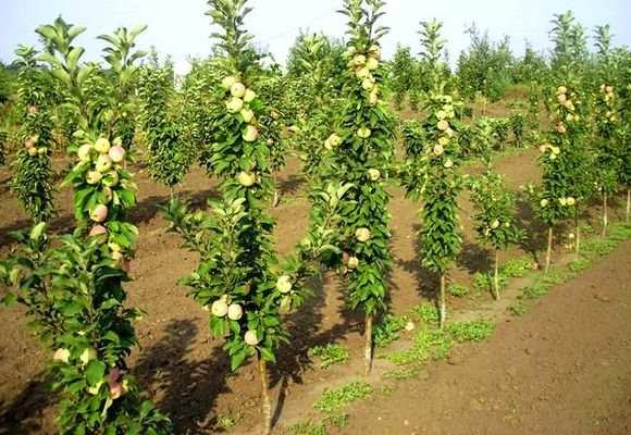 Яблони саженцы