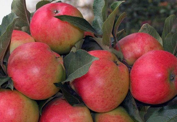 яблоня сорт Джин