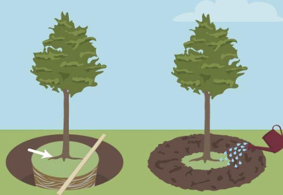 Расстояние деревьев при посадке в ряд