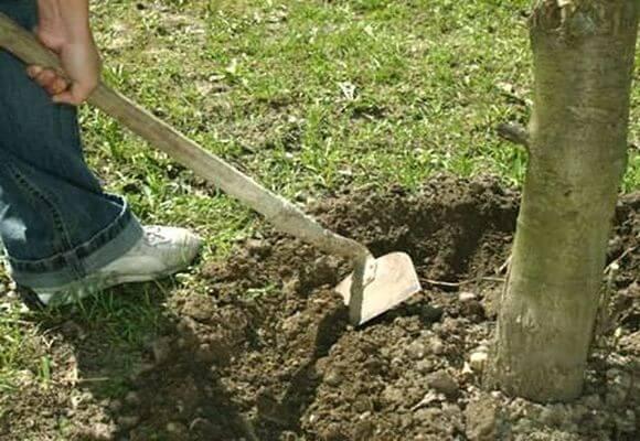 рыхление грунта вокруг дерева