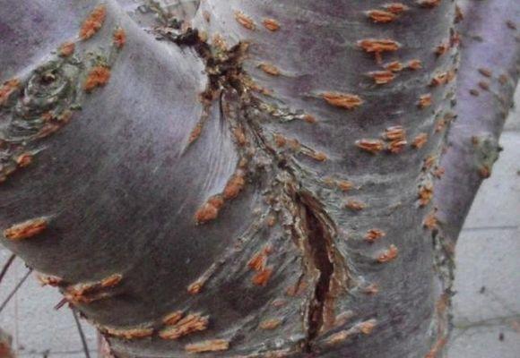 Морозные и солнечные повреждения коры
