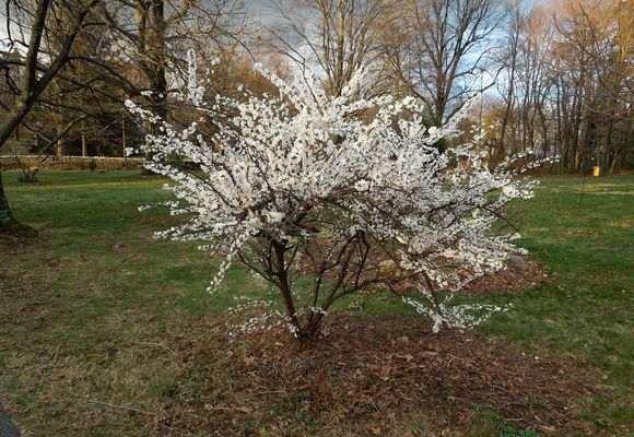 Дерево цветущей вишни