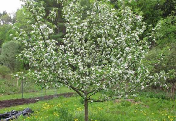 Яблоня Медуница цветущая