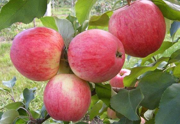 Яблоки сорт медуница