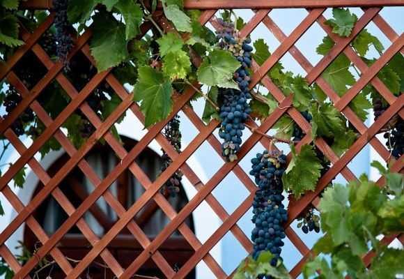 урожай винограда на опорах беседки