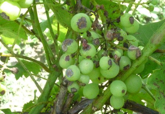 Поражённые грозди
