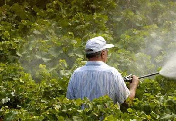 Обработка винограда летом