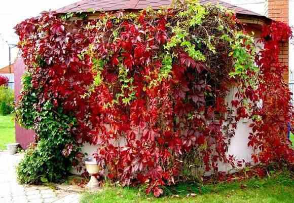 Декоративный виноград на здании