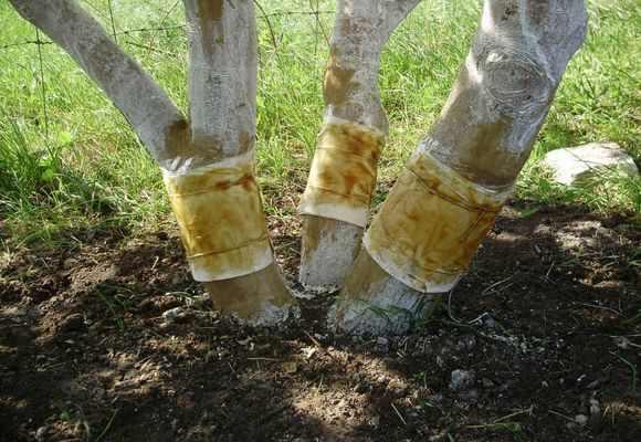 Ловчие пояса на деревьях