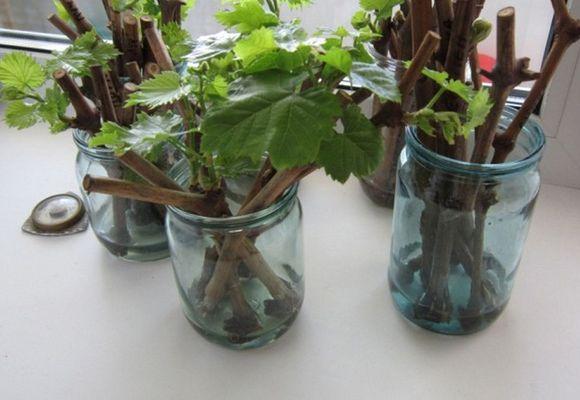 Подготовка чубуков винограда к укоренению