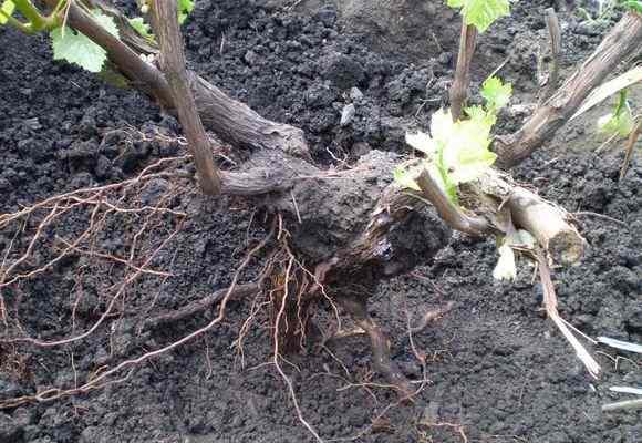 Корни винограда
