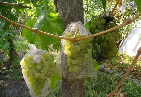 Виноград в мешочках