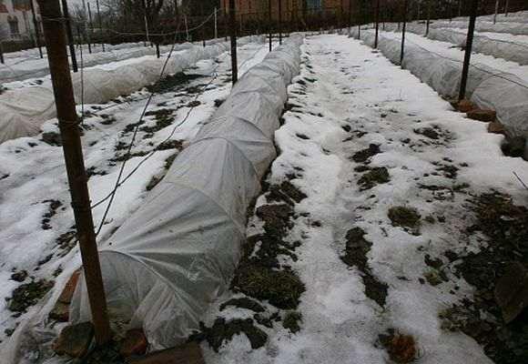 Молодой виноград под укрытием