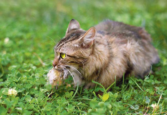 Кот с мышью во рту