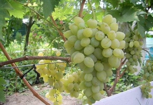 Лозы белого винограда