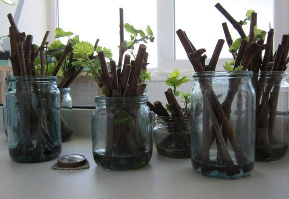 лозы винограда в стеклянных банках