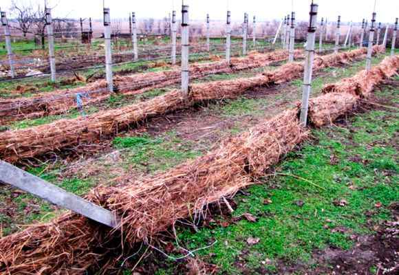 Укрытый виноград на зиму