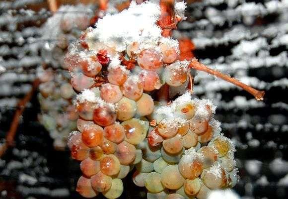 Снег на гроздях винограда