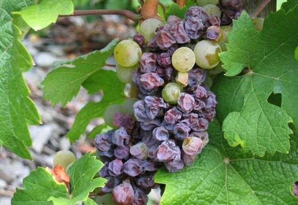 Больной виноград
