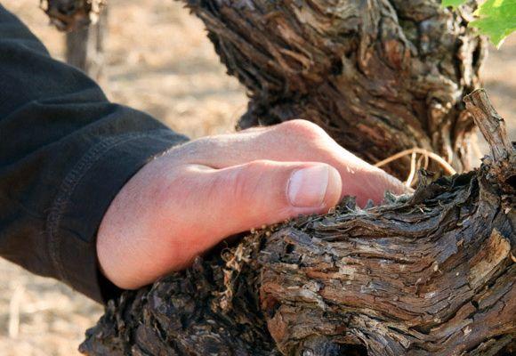 Стебель винограда