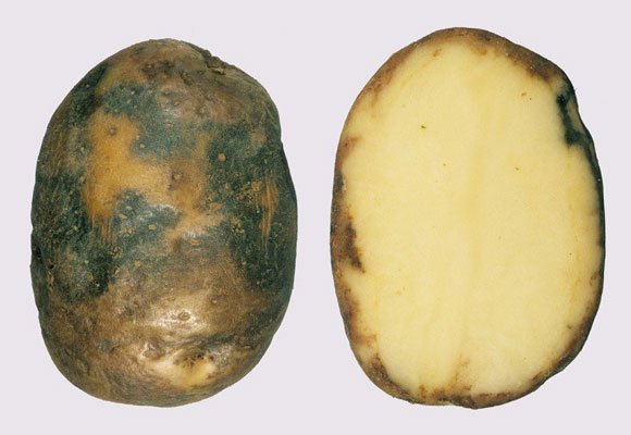 фитофтороз картошка