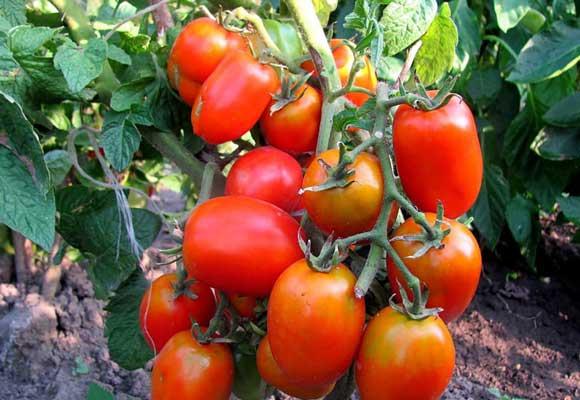 виды томатов