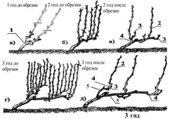 Схема подрезки винограда