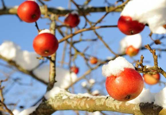яблоки зима