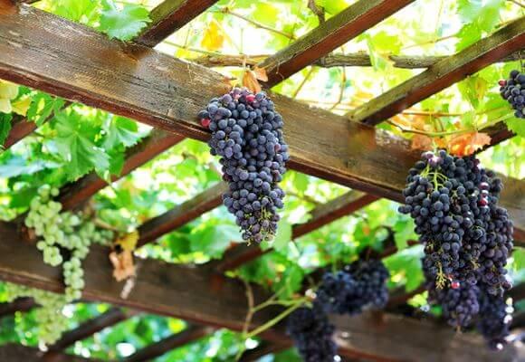 виноград на беседке