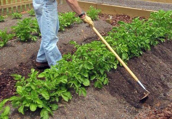 окучивание картофеля тяпкой