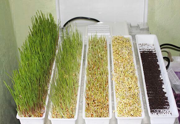 процесс выращивания зелени