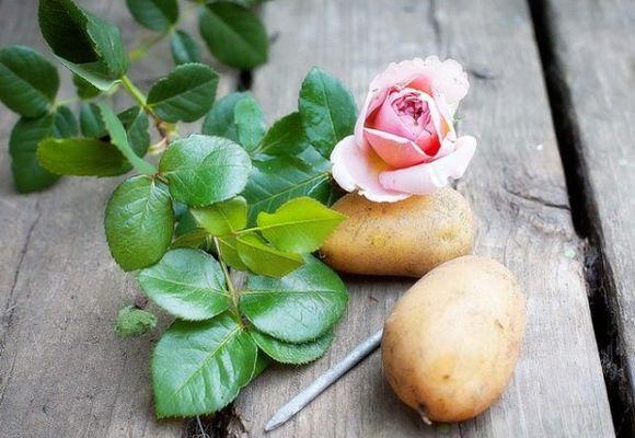 Розы и картошка