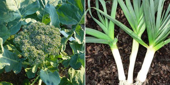 брокколи и латук