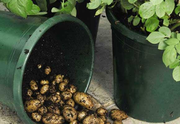 картошка из бочки