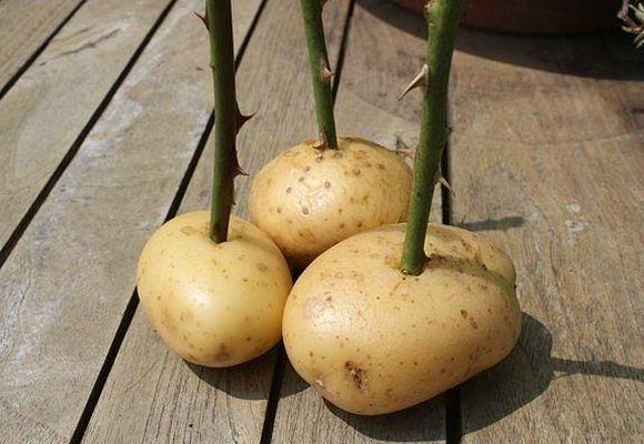 На фото черенки розы в картошке