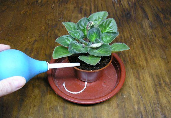 спринцовка домашнего растения
