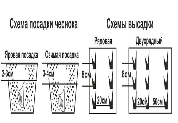 На фото схема посадки и высадки чеснока