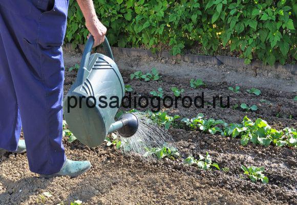 полив рассады в мае на огороде