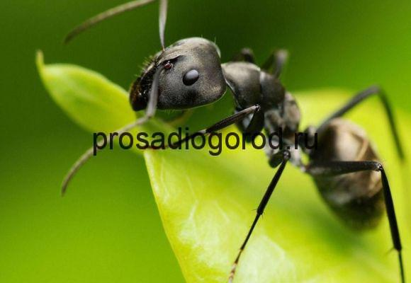 муравей в огороде