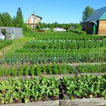 соседство овощей в огороде