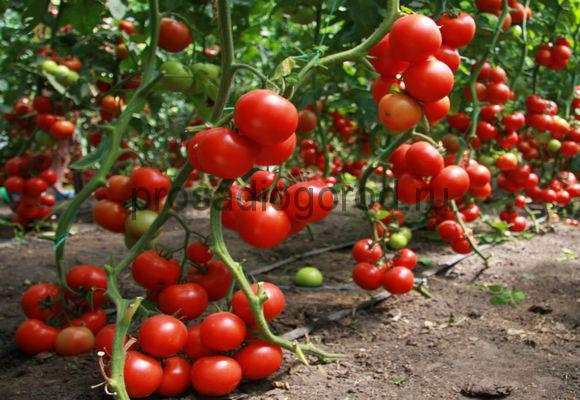 выращивание помидоров черри в теплице